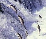 Saumons franchissant un barrage